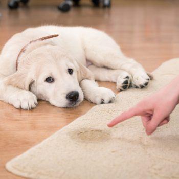 proteja covorul